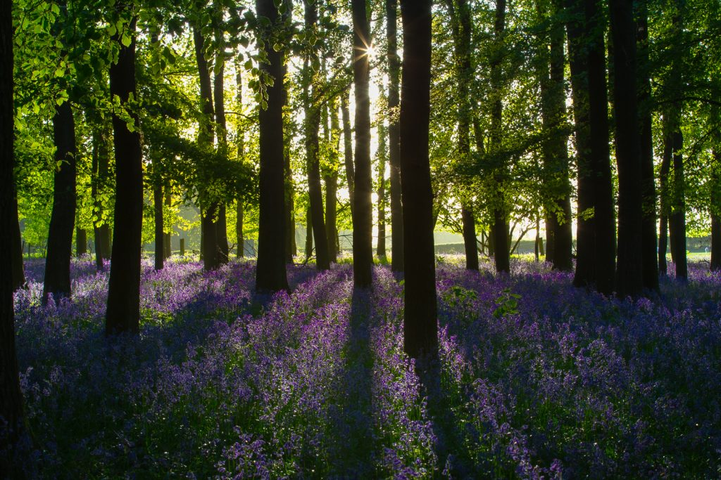 SHADOWS IN THE BLUEBELL WOOD 2 by Ian Roberts