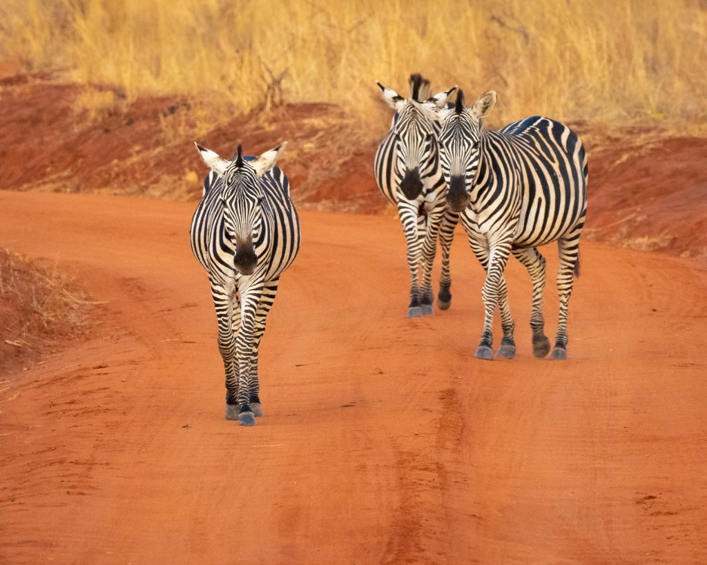 ZEBRAS CROSSING AT DUSK by Ian Roberts