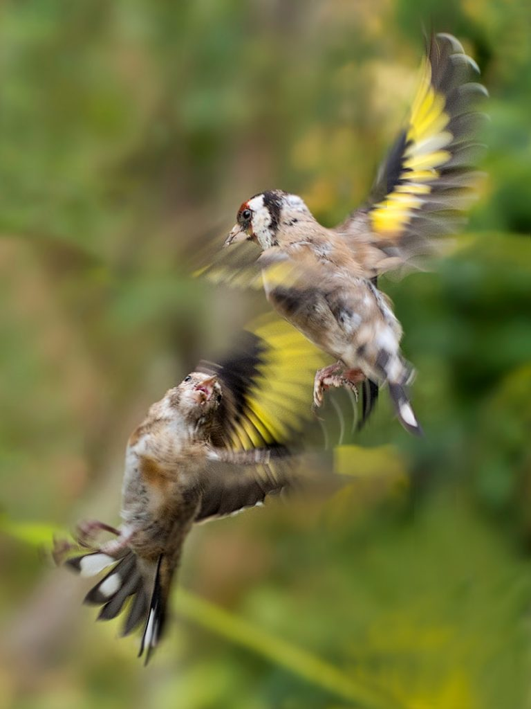 FIGHTING GOLDFINCHES by Avril L Candler