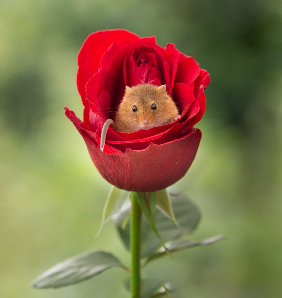 HARVEST MOUSE AND THE RED ROSE by Ian Roberts