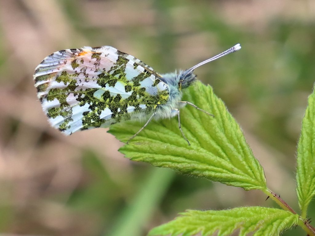 ORANGE-TIP BUTTERFLY by Trevor Alexander