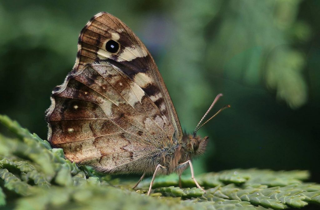 SPECKLED WOOD by Ron Churchill