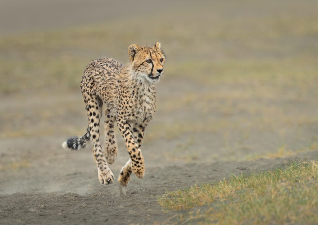 SPRINTING CHEETAH CUB by Julia Wainwright