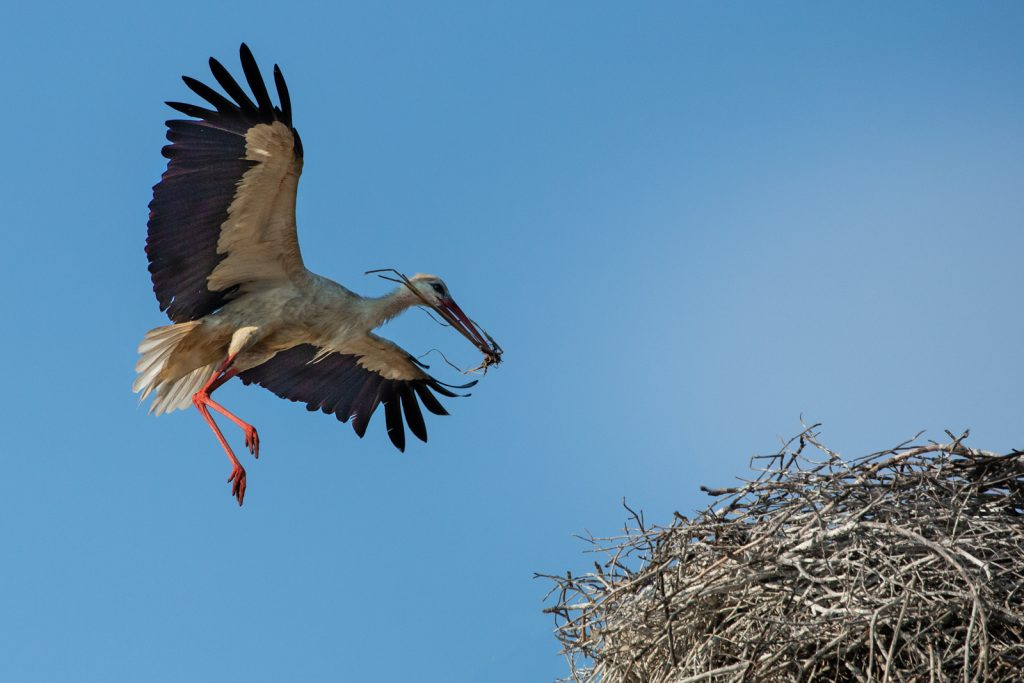 STORK REPAIRING THE NEST by Ian Roberts